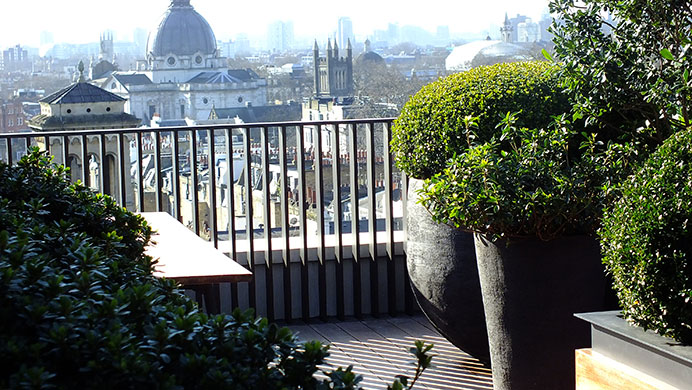 Evergreen Taxus Baccata on roof terrace in Princes' gate Knightbridge